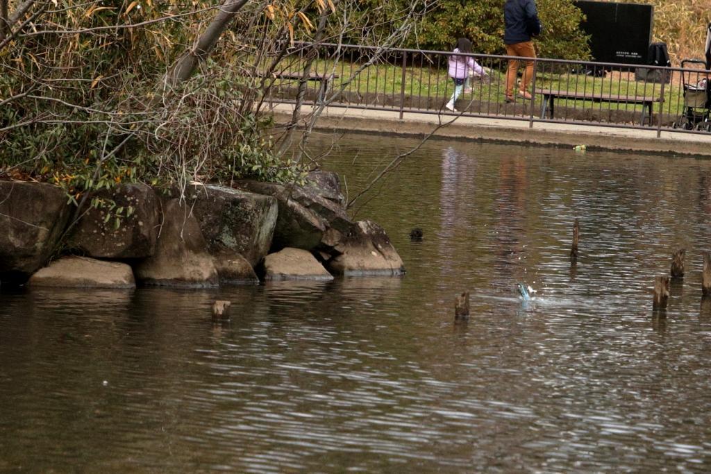 こども自然公園(大池公園)のカワセミ撮影