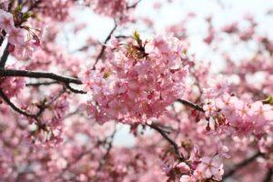 まつだ桜まつりの河津桜