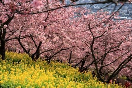 河津桜と菜の花の写真