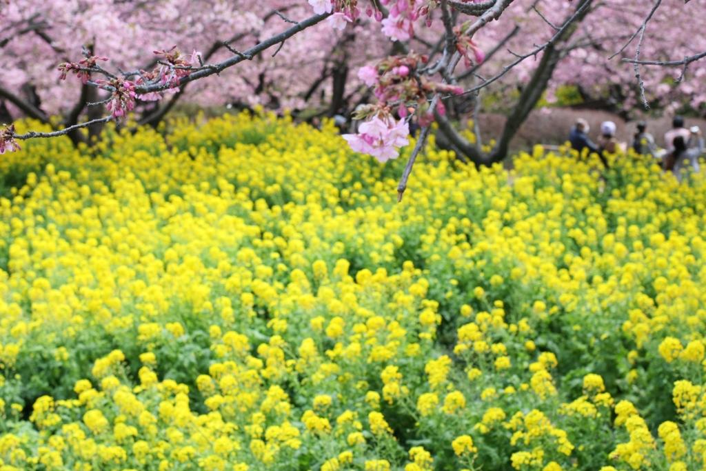 まつりの河津桜