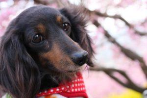 まつりの河津桜での犬の散歩