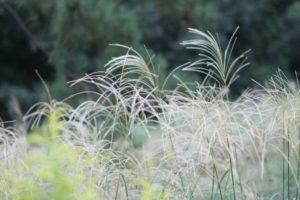 秋のこども自然公園(大池公園)で見られるススキ