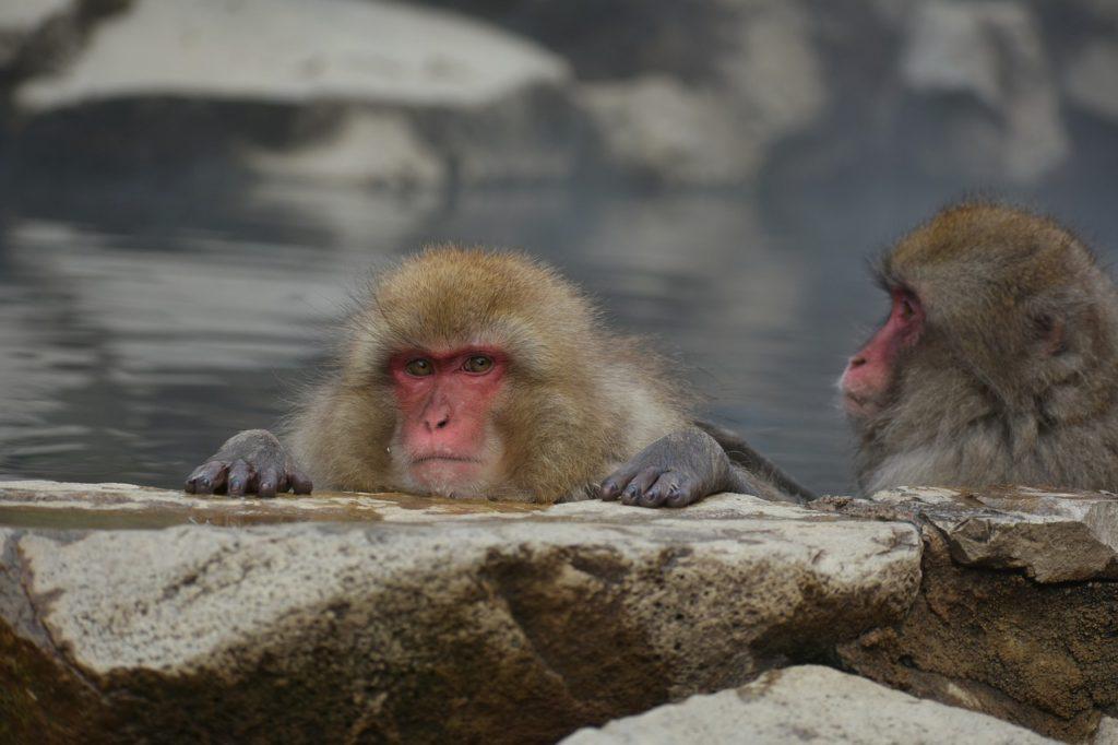 温泉に入っている猿