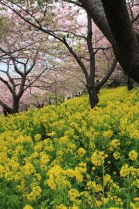まつだ桜まつりの桜と菜の花