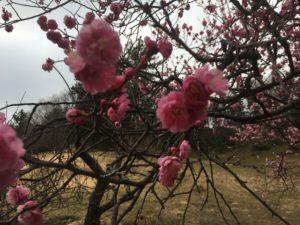 こども自然公園(大池公園)の桜