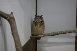掛川花鳥園のフクロウ