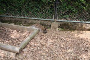 埼玉こども動物自然公園のカンガルー