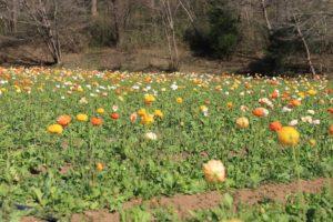 武蔵丘陵森林公園の花見