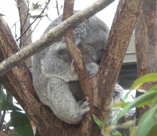 コアラの写真