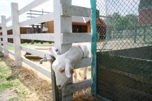 まかいの牧場のヤギ