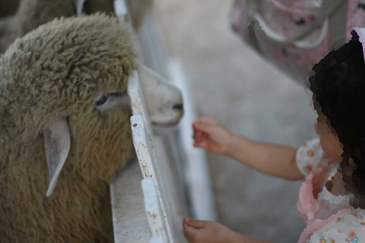 羊のエサやり