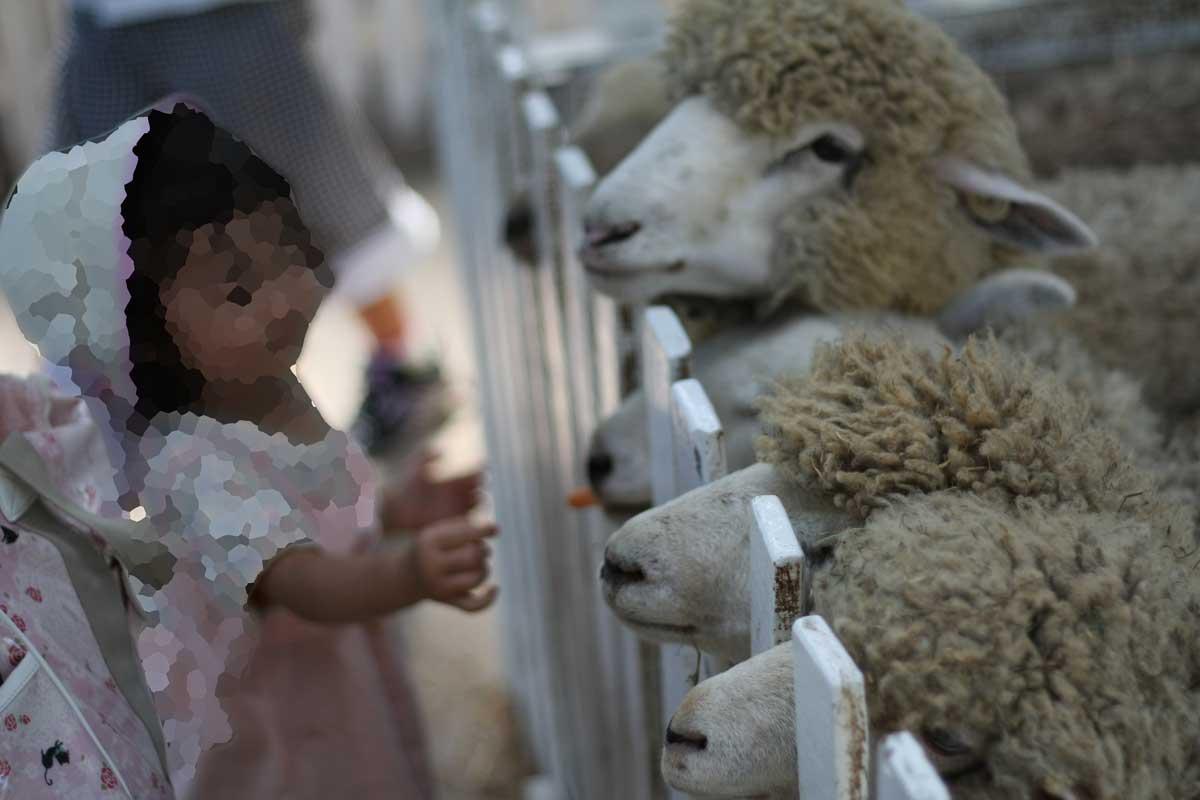 羊のえさやり