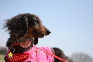 昭和記念公園での犬の散歩