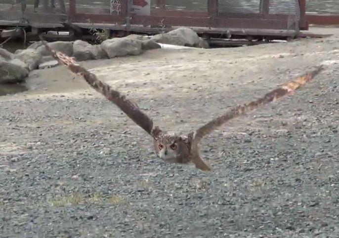 飛んでいるフクロウ