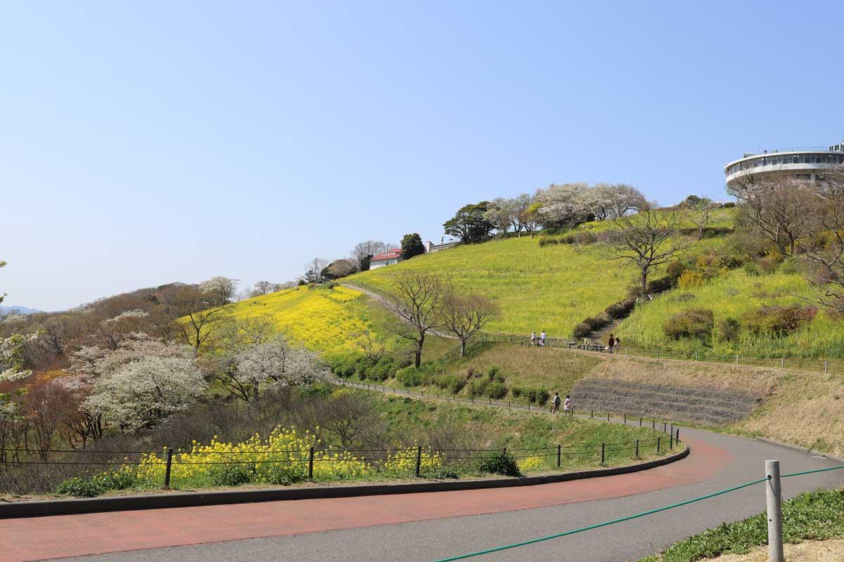 菜の花畑の景色