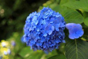 くりはま花の国に咲いているあじさい