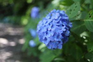 くりはま花の国の散歩道に咲いているアジサイ