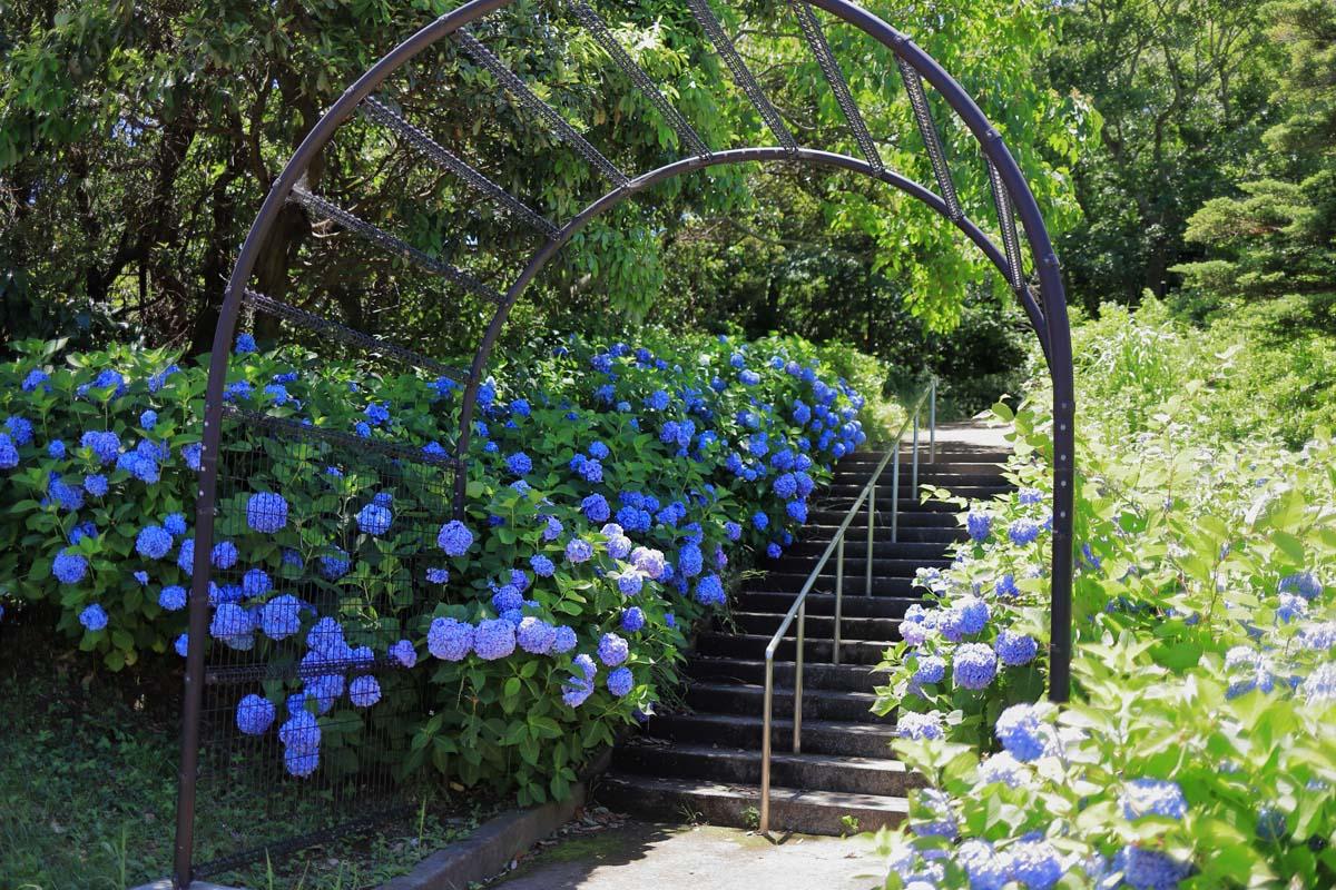 階段に咲いているアジサイ