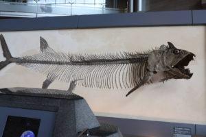 生命の星・地球博物館に展示している巨大魚