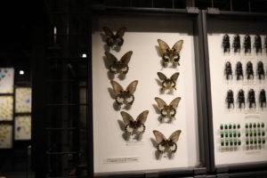 生命の星・地球博物館に展示しているアゲハ