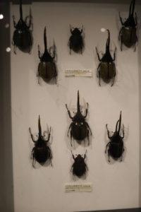 生命の星・地球博物館に展示しているカブトムシ