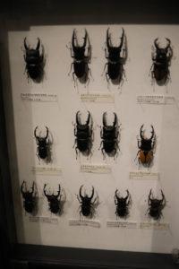 生命の星・地球博物館に展示されているクワガタ