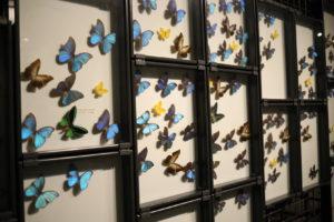 生命の星・地球博物館に展示されている蝶々