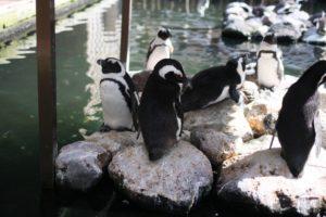 掛川花鳥園のペンギン