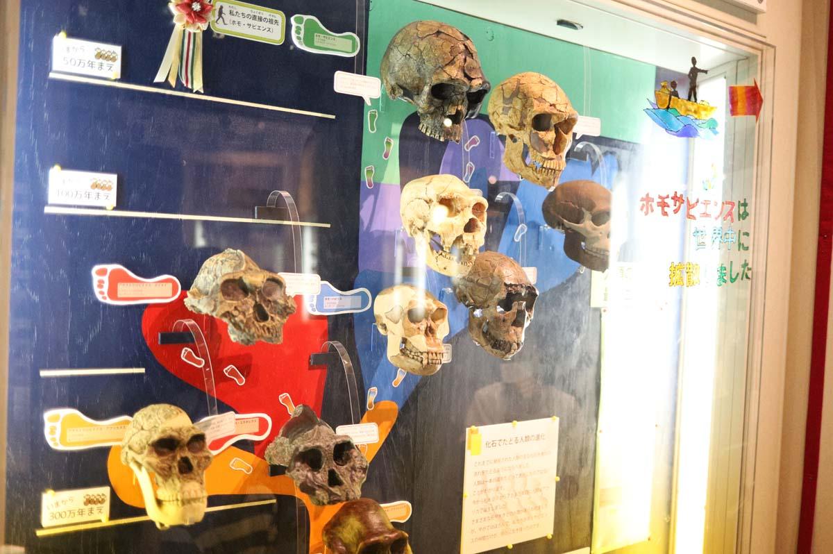 頭蓋骨の展示