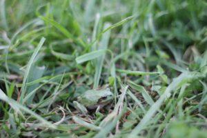 マザー牧場の芝生広場にいた蛙