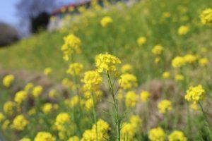 マザー牧場に咲いている菜の花