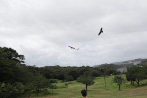 観音崎公園の芝生広場に飛んでいるトンビ