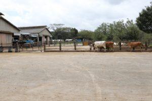 成田ゆめ牧場の牛