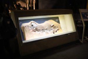 生命の星・地球博物館に展示している化石