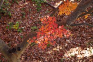 相模原公園で見ることができる紅葉
