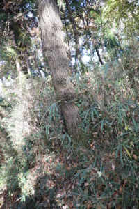 相模原公園の散歩道にあるクヌギの木