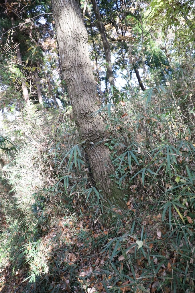 鶴間公園でクワガタやカブト虫が獲れる木