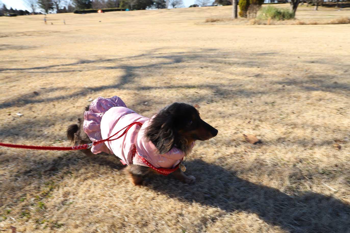 昭和の森の芝生広場での犬の散歩