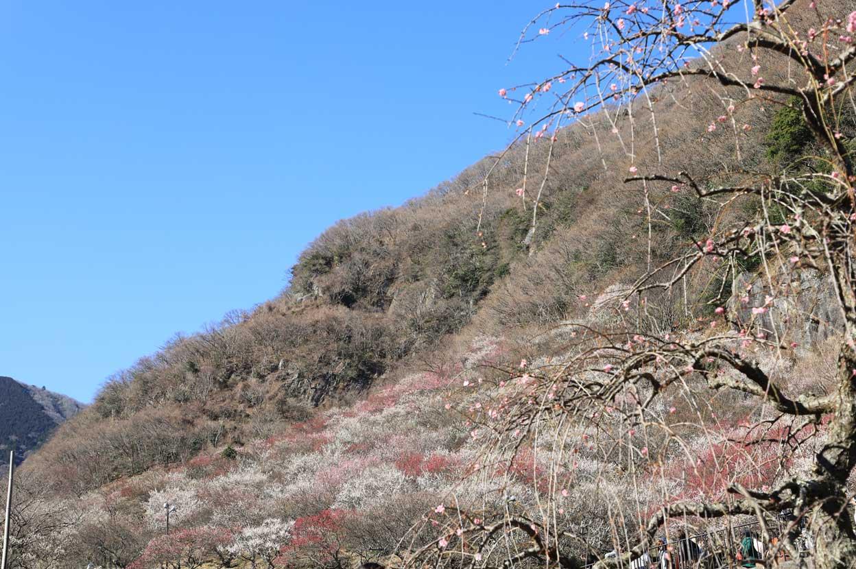 幕山公園の梅林