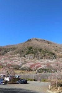 幕山公園の花見