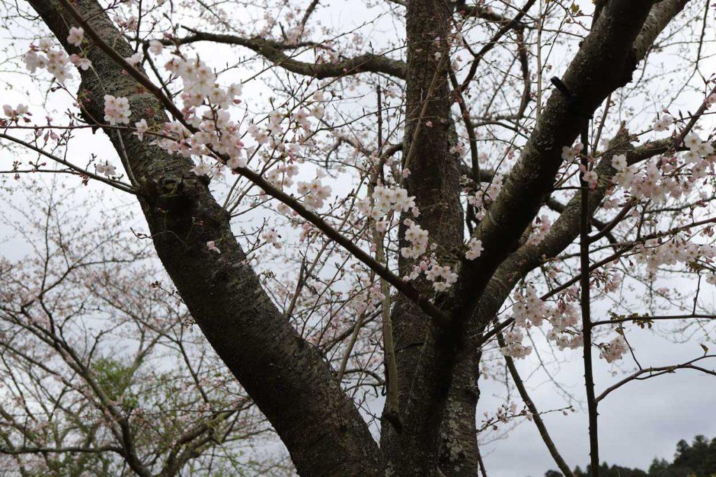 レイクウッズガーデンの桜