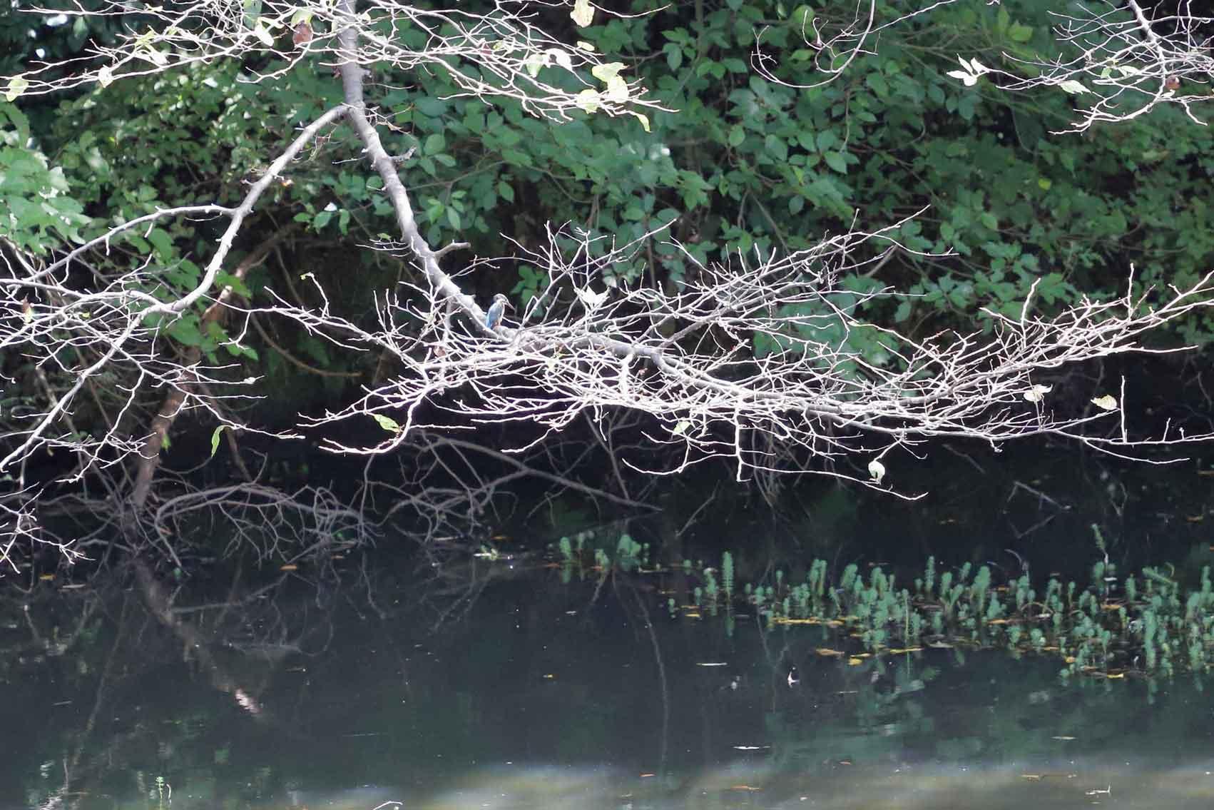 鎌倉中央公園のカワセミ