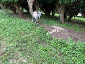 富士山ワイルドアドベンチャーのヤギたち
