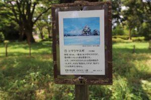 青葉の森公園のヒマラヤスギ