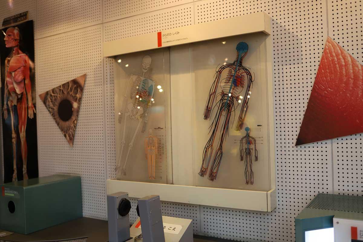 人体の展示