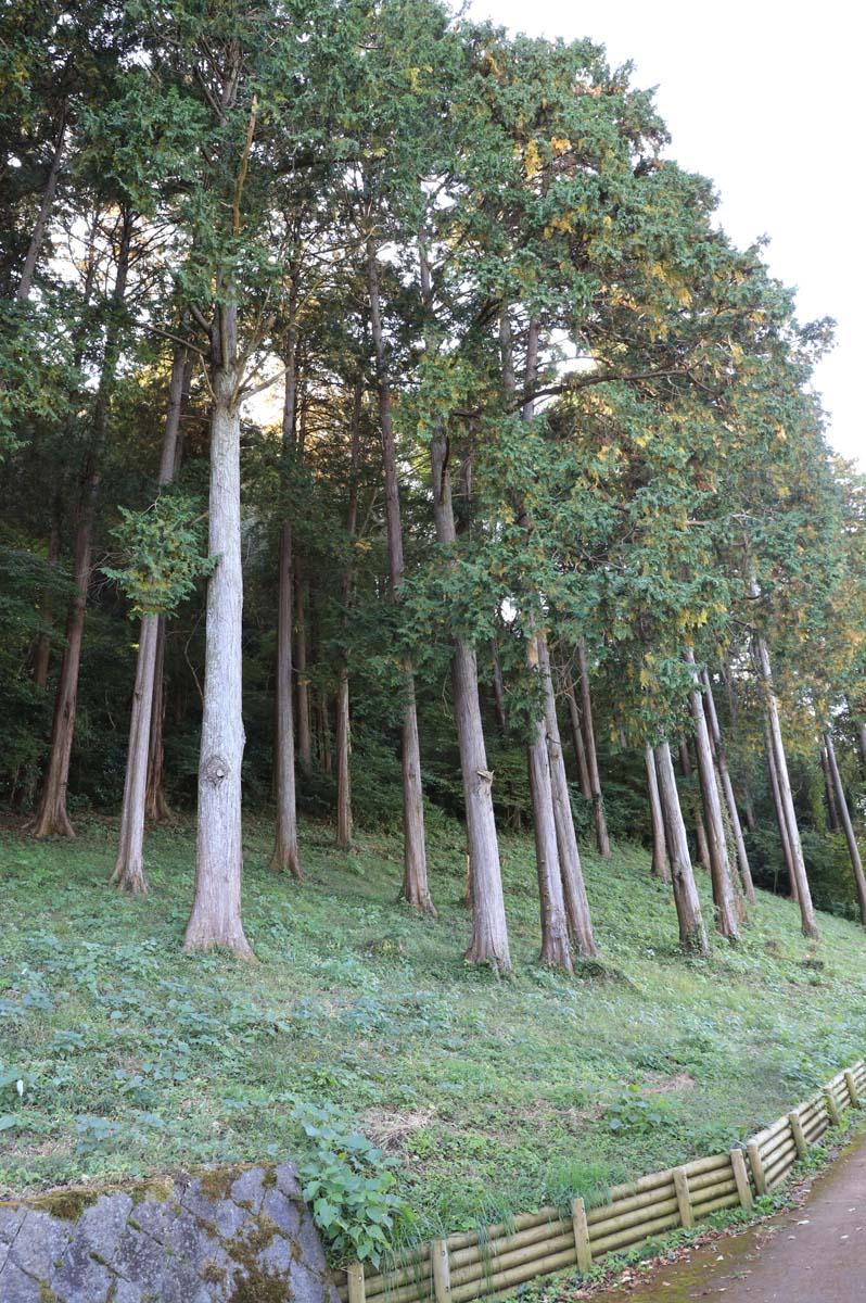 遊歩道に生えている木